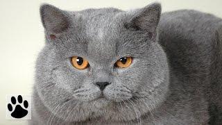 Породы кошек - Британская кошка. [British Shorthair (Cat Breed)]