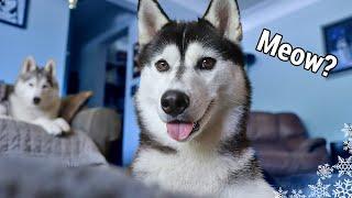 My Dog Thinks She's Actually A Cat | Husky Pounces Like a Cat