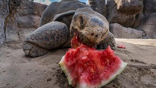 360 VR Galapagos Tortoises Attacking Watermelons