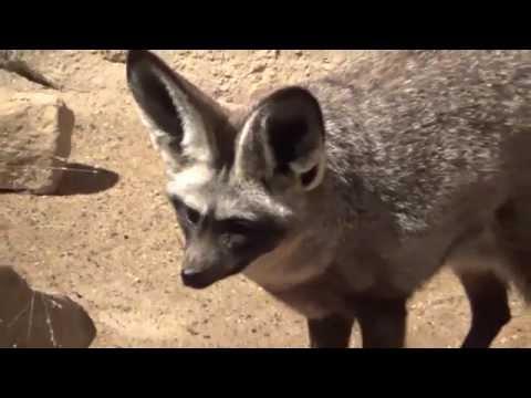 Bat Eared Fox (Otocyon megalotis) Prague Zoo שועל אוזנן