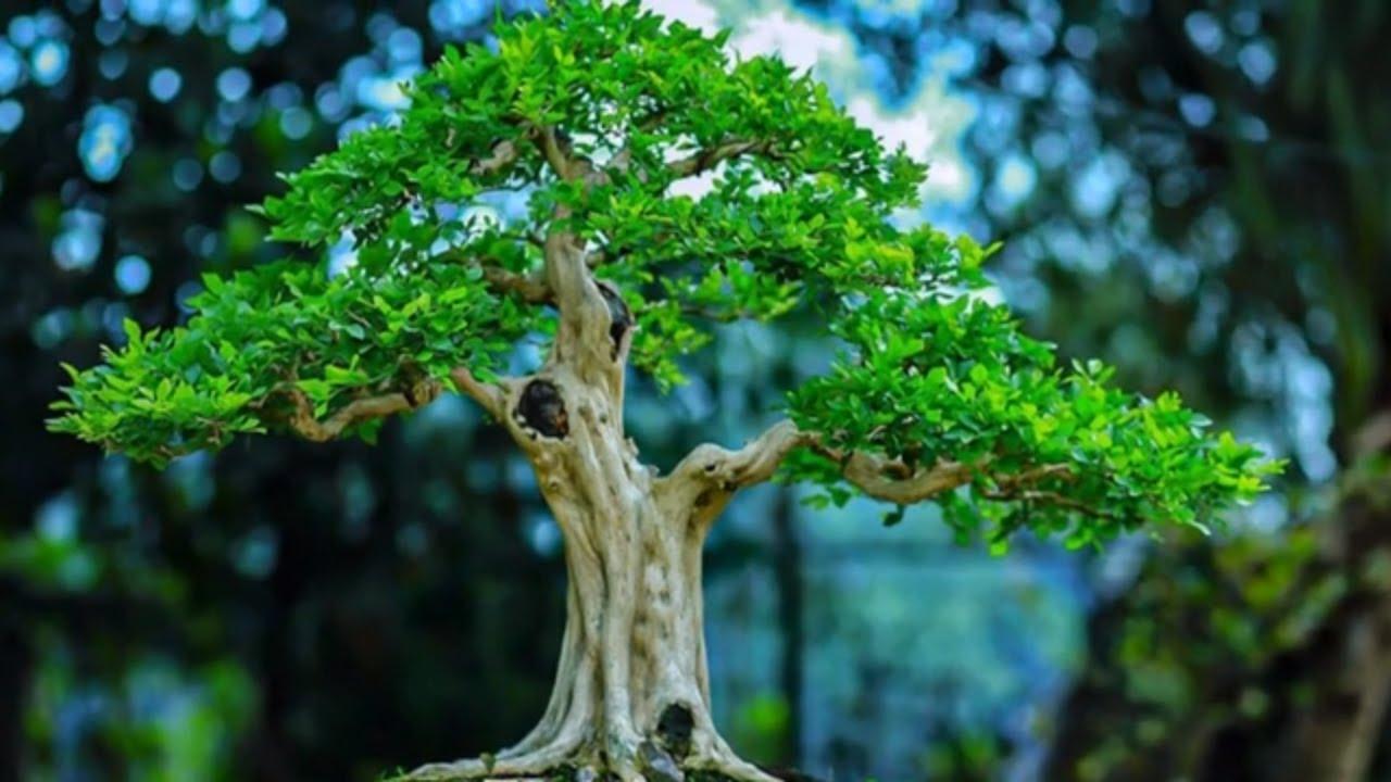 Beautiful bonsai works in Vietnam #4 - Tác phẩm bonsai đẹp Việt Nam #4