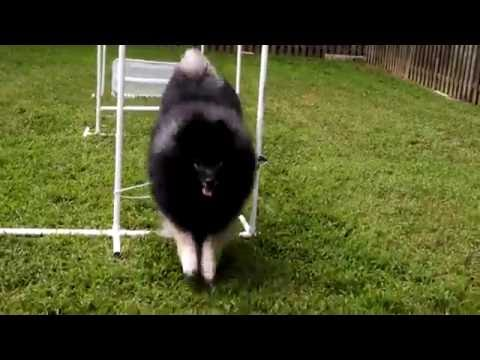Clancy Keeshond does Hurdles Dog Olympics Series - Fluffy Dog Tricks