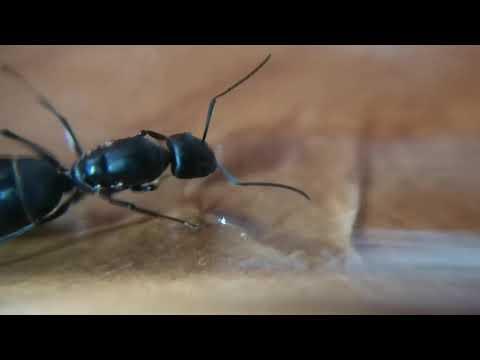 Camponotus micans