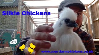 Silkie Chickens - a quick guide