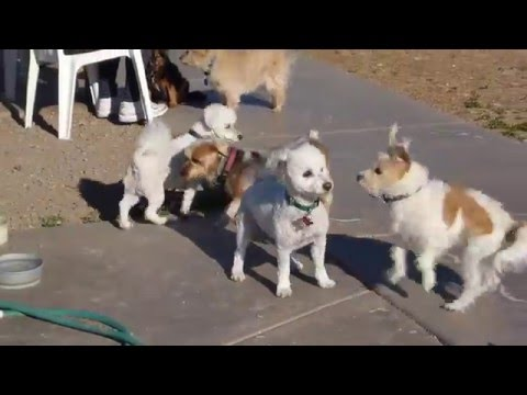 Playing at Dog Park with other Toy Dogs,  Bichon Frise