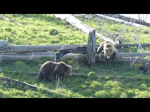 2 Grizzly Bears in Yellowstone 05/2018