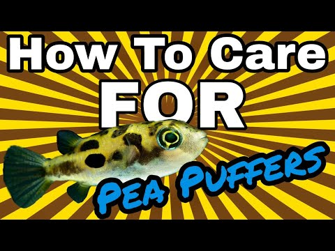 How To Care For Pea Puffers! EASY And CHEAP!