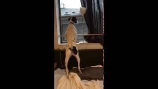 窓に飛んできたセミをジッと見つめるドイル。 狙ってたのに飛んで行った...