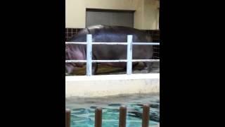 上野動物園のカバの餌やりです.