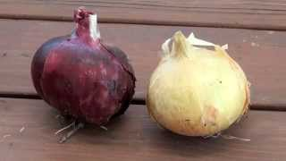 How To Grow and Harvest Bulb Onions