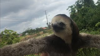 Mission in Suriname 🇸🇷 11 - Rescued a Sloth - Luiaard gered 2019