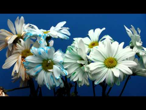 time-lapse-of-daisies-changing-color-and-wilting