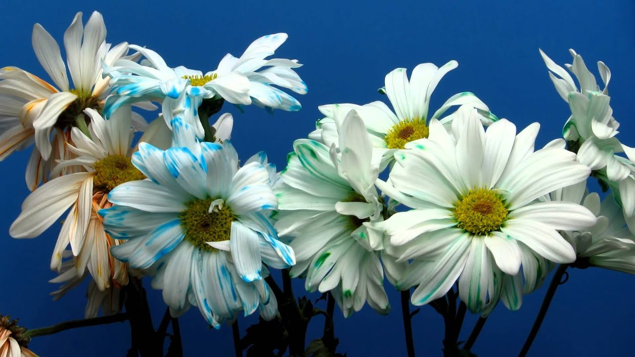 Time Lapse Of Daisies Changing Color And Wilting Youtube