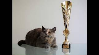 Британская кошка Zoluschka High Class*RU - лучшая короткошерстная кошка, Ostrava 2018 (CZ)