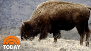 Woman Gored By Bison At Yellowstone National Park | TODAY