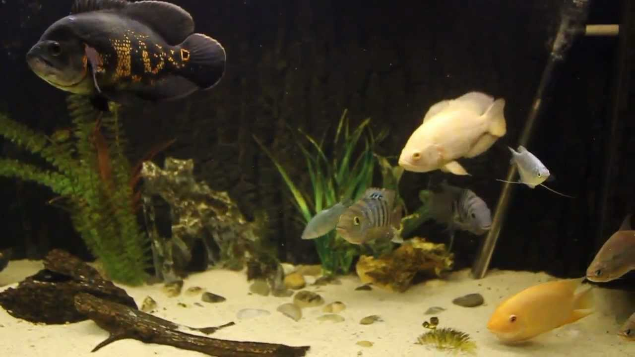Oscars Cichlids Silver Dollars Fish Aquarium - YouTube