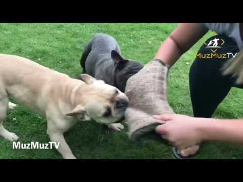 French Bulldog does bite work bites woman