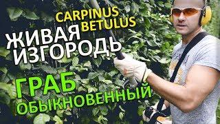 ИЗГОРОДЬ ИЗ ГРАБА обыкновенного на Участке/ HEDGE CARPINUS betulus/ Туи_туя_Минск_стрижка