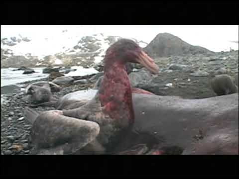 Seabirds and Seals of South Georgia, Antarctica
