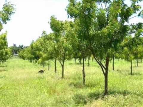 Neem Tree Plantations