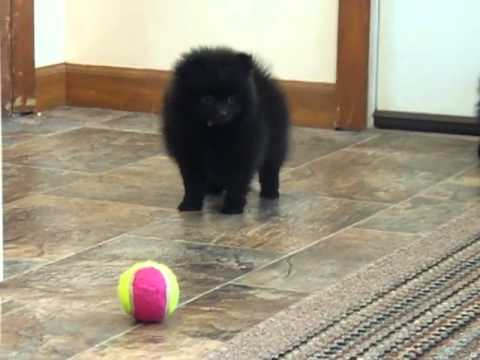 Black Pomeranian Puppies