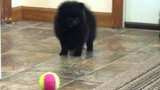 Black Pomeranian Puppies