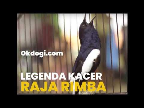 Masteran Legenda Suara Kacer RAJA RIMBA