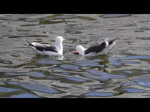 The pigeon-killing gull and his mate share a meal