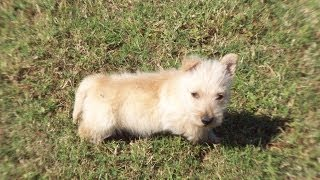 Scottish Terrier, Puppies, For, Sale, In, Columbus, Ohio, OH, North Ridgeville, Mason, Bowling Green