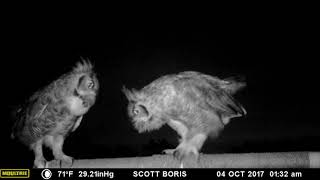 Great Horned Owls courting: The beginning of the 2018 nesting season