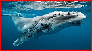 Humpback Whale: The Ocean Singer - Full Documentary HD