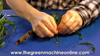 Attaching Microsorum To Wood For Planting In An Aquarium