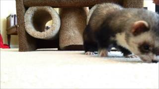 Some of Joey the Trained Ferret