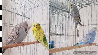 Muhabbet Kuşlarını Eşe Attık ve Yeni Rainbow Çiftimiz