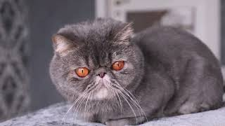 Popular Cat Breeds and Their Personalities and Behaviours