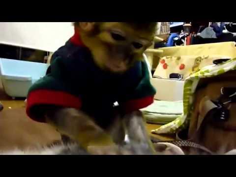 Un petit singe recherche les puces d'un chat
