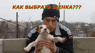 хочу щенка Ам Стаффа что от него ожидать и нужен ли Бойцовый щенок