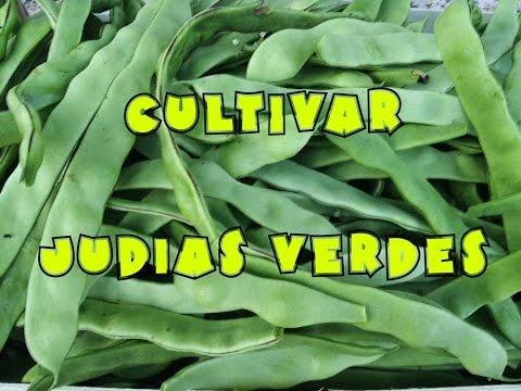Como sembrar jud a verde en nuestra huerta doovi - Cultivar judias verdes ...
