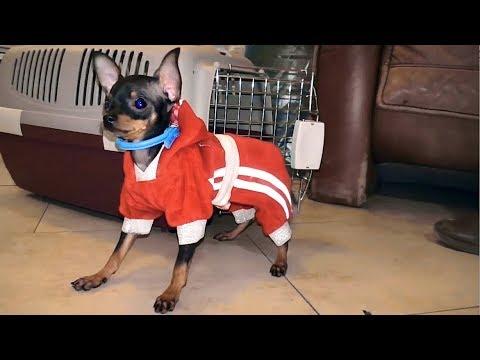 МОДНЫЙ Русский Той - терьер. Fashionable Russian Toy Terrier