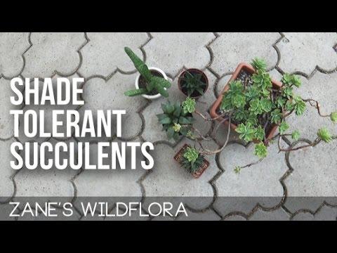 Shade Tolerant Succulents - YouTube