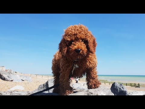 Chester - 13 Week Old Cavapoo Puppy - 2 Weeks Intensive Dog Training