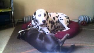 Dalmatian Cross Doberman Puppy Brook And Frank The Dalmatian Playing