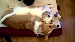 3 Beagles And A Corgi