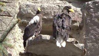 Moscow Zoo. Predator birds. (Московский зоопарк.Хищные птицы.)