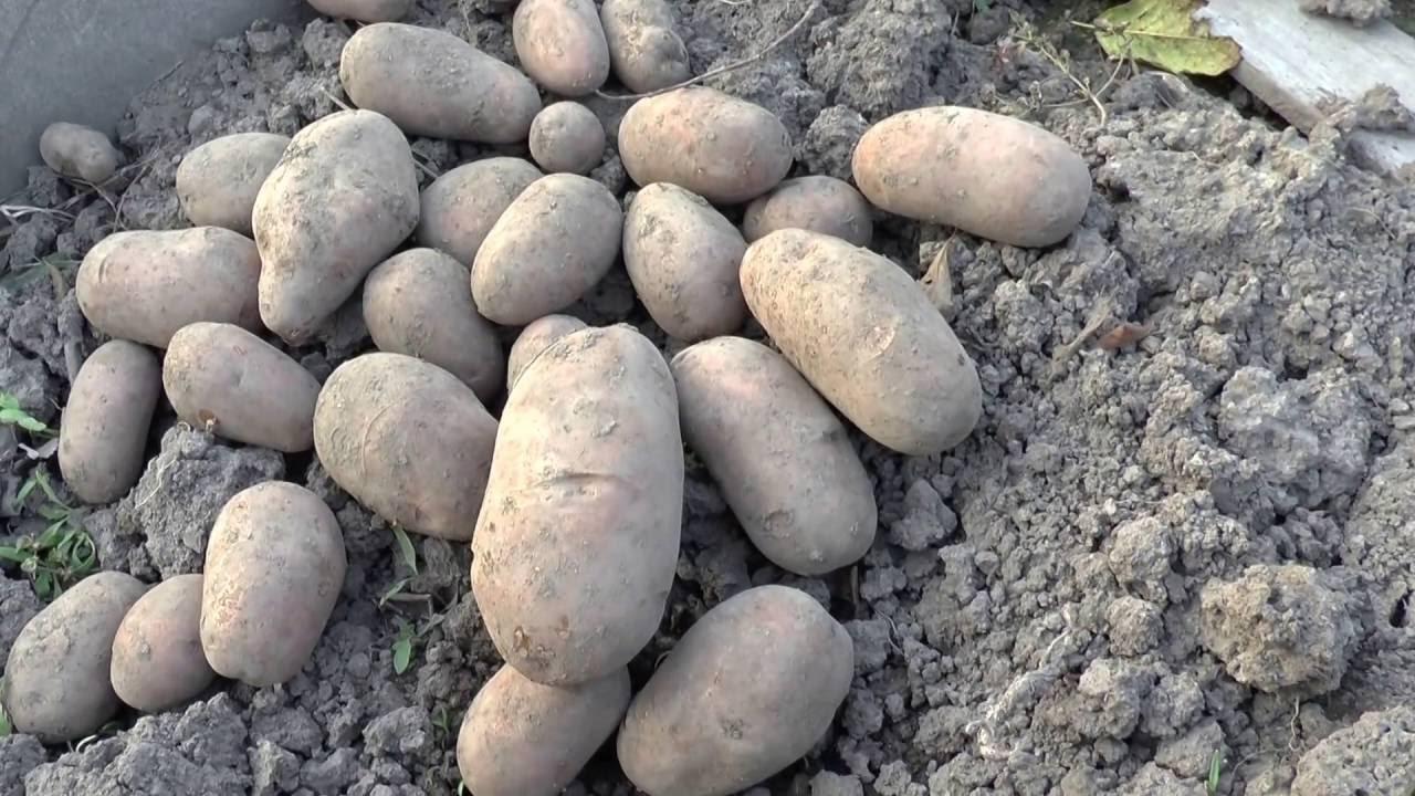 картофель каменский описание сорта фото милая подруга, настал