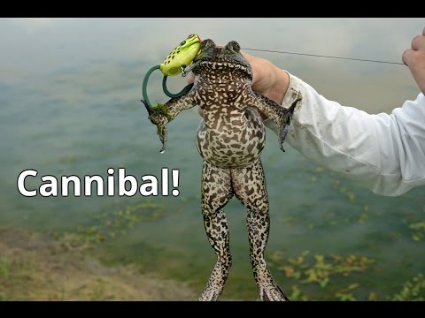 Bullfrogs are Cannibals!
