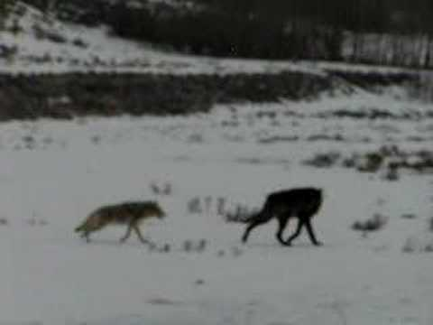 Coyotes Defend Their Den From Wolf - Part II