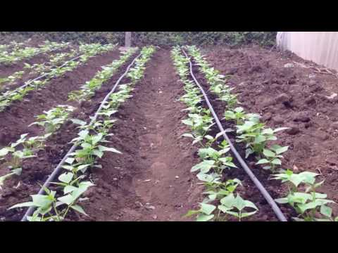 Affordable Drip Irrigation System