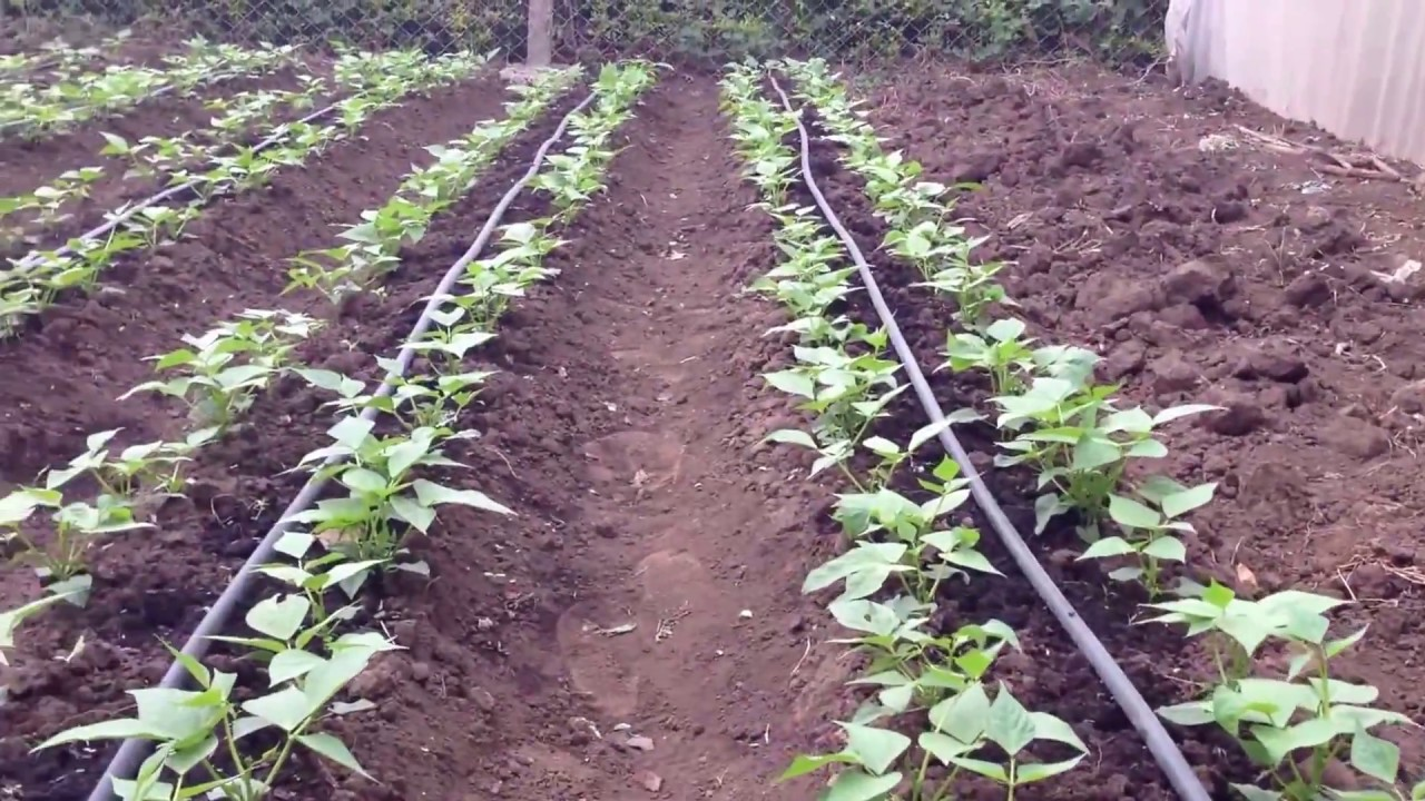 Affordable Drip Irrigation System - YouTube