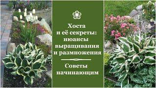 ❀ Хоста и её секреты: нюансы выращивания и размножения. Советы начинающим